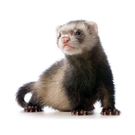 Live Pet Ferrets For Sale