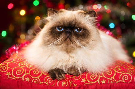 sta foto su cuscini gatto persiano divertente si trova su un cuscino di