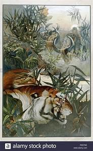 Book A Tiger Com : jungle book tiger stock photos jungle book tiger stock images alamy ~ Yasmunasinghe.com Haus und Dekorationen