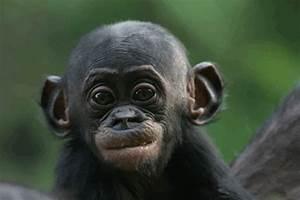 Bonobo Chimpanzee - Baby   A - Adorable Wee Ones ...