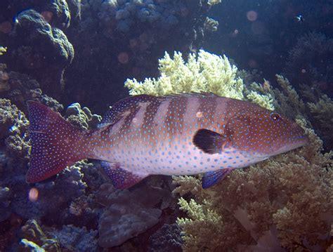 grouper coral plectropomus roving wikipedia fish scratch species leopard wikimedia animals buddies fishing dorsal fin hanson jon credit hunting cooperative