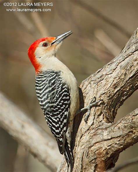 red bellied woodpecker male laura meyers photography