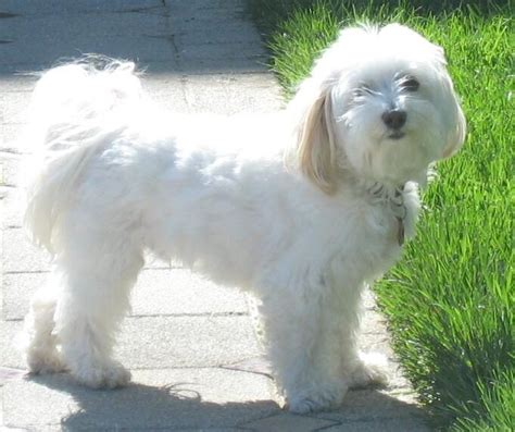 havanese small dog breed breeds of small dogs best