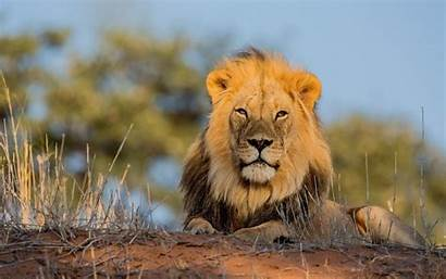 Animals Lions Wallpapers Allwallpaper Pc Wide
