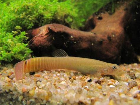 requin d eau douce aquarium 28 images aquarium de lyon une sortie 233 cologique pour les
