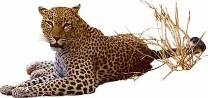Leopard Jaguar Transparent Clipart Animals Clip