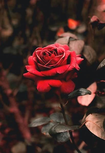 Rose Unsplash Wallpapers Flower Flowers Desire Hq