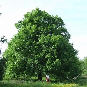 Linde Baum Steckbrief : sommer winterlinde tilia platyphyllos baumkunde forum ~ Orissabook.com Haus und Dekorationen