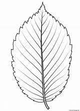 Coloring Elm Leaf Drawing Template sketch template