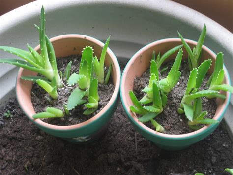 growing pot plants from seeds how to grow aloe vera from seed the garden of eaden