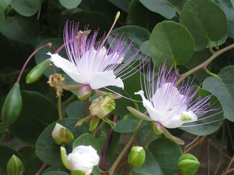 fiori capperi pianta cappero aromatiche caratteristiche della pianta