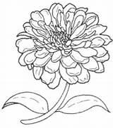 Flower Zinnia Drawing Line Zinnias Drawings Garden Flowers Google Painting Butterflies Coloring Plant Brooklyn Them Fabric Paintingvalley Elegans sketch template