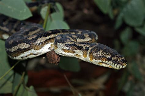 South West Carpet Python Size   Carpet Vidalondon