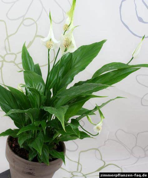 Einblatt Pflege Tipps by Spathiphyllum Wallisii Pflanzen Pflege