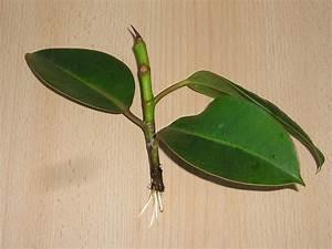 Ahorn Vermehren Steckling : gummibaum durch stecklinge vermehren majas pflanzenblog ~ Lizthompson.info Haus und Dekorationen
