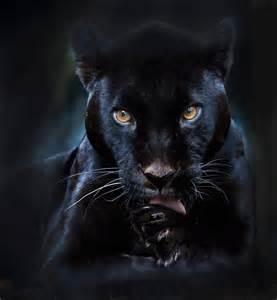 black panther cat black panther animals