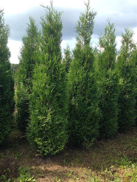 conifers laxsjon plants