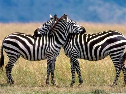 Zebra Wallpapers Backgrounds Zebras Definition Animal