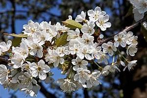 Baum Mit Blüten : baum im fr hling mit bl ten bilderbox bildagentur gmbh ~ Michelbontemps.com Haus und Dekorationen