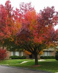 Bradford Pear Tree Fall Color