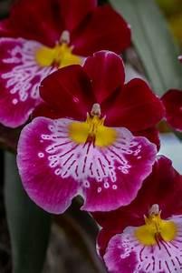 Orchideen Schneiden Video : miltonia orchidee pflegen gie en d ngen schneiden und mehr ~ Frokenaadalensverden.com Haus und Dekorationen