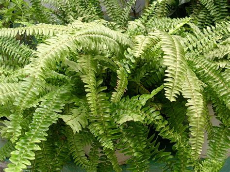 ferns in the garden ferns in the garden pot free photo file 1555360 freeimages com