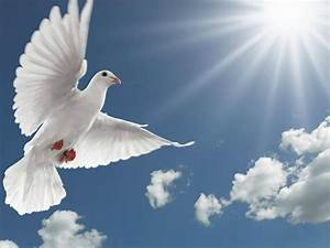 White Pigeon Flying, Spread Wings Sun Rays Hd Desktop ...