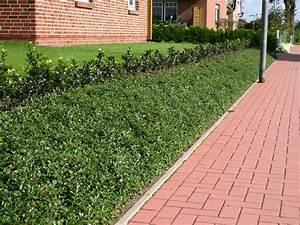 Böschung Bepflanzen Fotos : teppichmispel kriechmispel 39 radicans 39 cotoneaster dammeri 39 radicans 39 baumschule horstmann ~ Orissabook.com Haus und Dekorationen