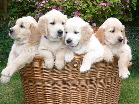 whats cuter   goldenretriever pup  basket full