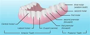 Teeth Names