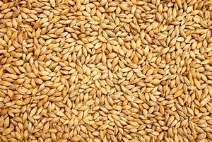 Barley  Health Benefits  Side Effects  Fun Facts