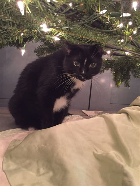 cat christmas tree water 6 ways my cats reacted to my artificial christmas tree 5842