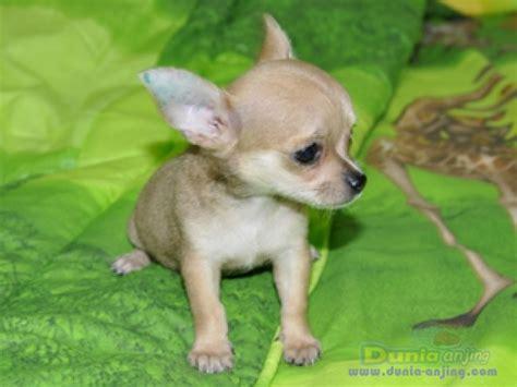 dunia anjing jual anjing chihuahua dijual ekor mini