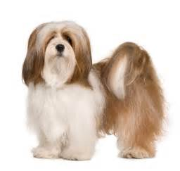 lhasa apso information facts pictures training and grooming