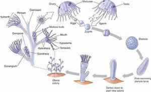 Exam #3: Animal Diversity 1 (Porifera and Cnidraia) at ...