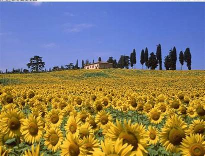 Tuscany Wallpapers Sunflower Italy Sunflowers Tuscan Flowers