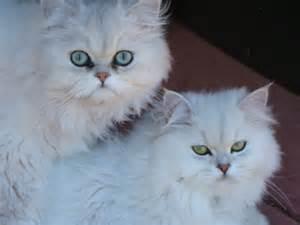 chinchilla cat chinchilla cat photography
