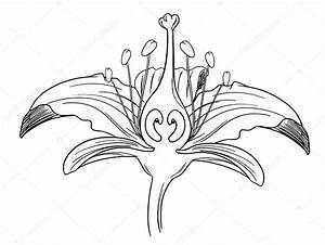 Tiger Lily Flower Outline  U2014 Stock Vector  U00a9 Blueringmedia