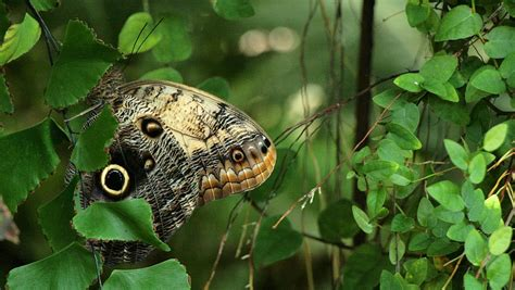 Dienvidamerikas pūčtauriņi Tropu tauriņu mājā