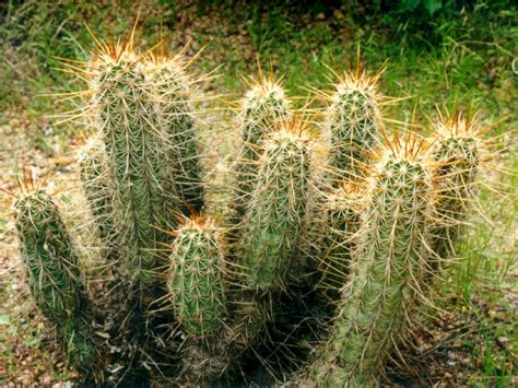 pictures of cactuses seguaro organ pipe
