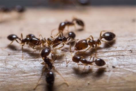 how to get rid of ants in the kitchen non toxic homemade