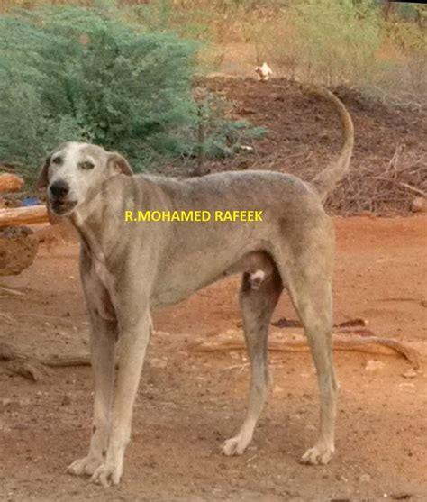 dog breeds  tamil nadu india quora