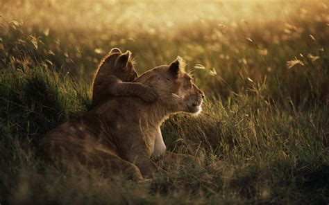 african lion wallpapers hd wallpapers id