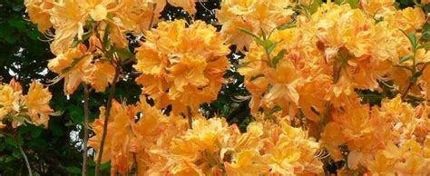 Golden Lights Azalea by Rhododendron Azalea Rhododendron Golden Lights
