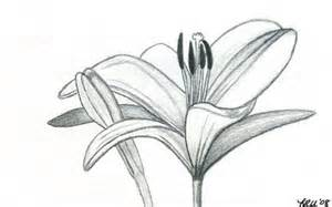 Lily Flower Pencil Drawing