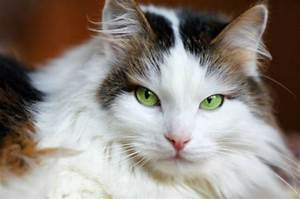Beautiful Cat Wallpaper With Green Eyes – HD Wallpapers