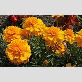 Marigold Flower Wallpaper | 1600 x 1000 jpeg 190kB