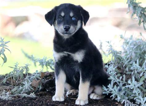 spike siberian husky poo puppy  sale keystone puppies
