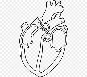 Diagram Heart Drawing Anatomy Clip Art