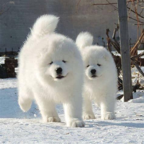 Samoyed Puppies Adorable Animals Pinterest
